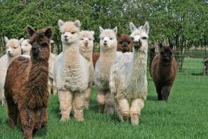 Alpacas for sale at Bozedown Alpacas