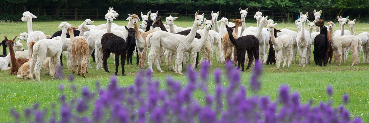 Welcome to Bozedown Alpacas